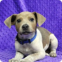 Adopt A Pet :: Odie - Westminster, CO