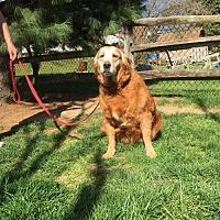Golden Retriever Dog for adoption in Irwin, Pennsylvania - Honey