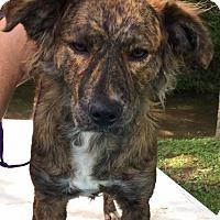 Adopt A Pet :: Garlin - Alexandria, VA