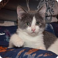 Adopt A Pet :: Baloo - Independence, MO