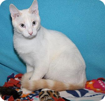 Siamese Cat for adoption in Orland Park, Illinois - Charlie & Cali (Bonded)