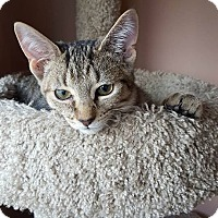 Domestic Shorthair Kitten for adoption in Hazel Park, Michigan - Mack