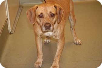 Labrador Retriever Mix Dog for adoption in Wildomar, California - Reba
