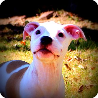 American Pit Bull Terrier Mix Puppy for adoption in Glastonbury, Connecticut - Freedom~adopted!