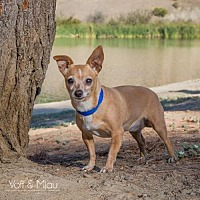 Chihuahua Mix Dog for adoption in Capistrano Beach, California - Natalie