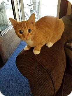 Domestic Shorthair Kitten for adoption in Canton, Ohio - Alberto