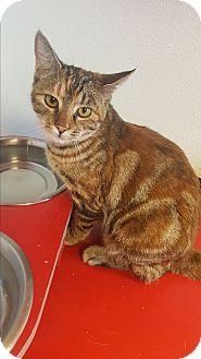 Domestic Shorthair Kitten for adoption in yuba city, California - Ginger