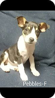 Boxer Mix Puppy for adoption in Trenton, New Jersey - Pebbles