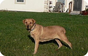 Labrador Retriever Mix Dog for adoption in New Oxford, Pennsylvania - Willow Baby