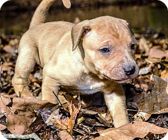 Catahoula Leopard Dog Mix Puppy for adoption in Goodlettsville, Tennessee - Lacy