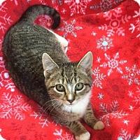 Domestic Shorthair Kitten for adoption in Butner, North Carolina - Holly