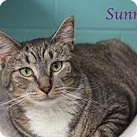 Domestic Shorthair Cat for adoption in Bradenton, Florida - Sunny