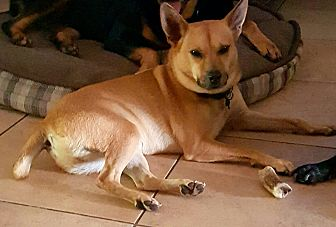 Shiba Inu/Terrier (Unknown Type, Small) Mix Dog for adoption in Miami, Florida - Bobby