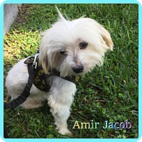 Adopt A Pet :: Amir Jacob - Hollywood, FL