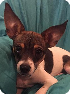 Terrier (Unknown Type, Medium)/Chihuahua Mix Dog for adoption in Tomball, Texas - Chester