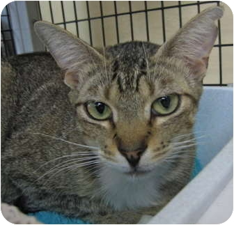 Abyssinian Cat for adoption in Deerfield Beach, Florida - Rio