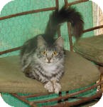 Maine Coon Cat for adoption in Mission Viejo, California - Devie