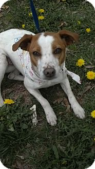 Hound (Unknown Type) Mix Dog for adoption in Waldorf, Maryland - Sugar 384