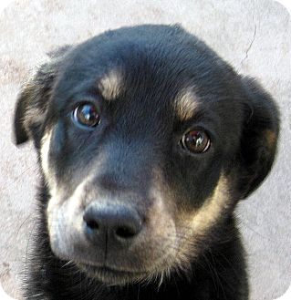 Labrador Retriever/Shepherd (Unknown Type) Mix Puppy for adoption in Oakley, California - Baby Molly