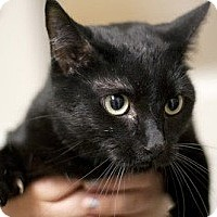 Domestic Shorthair Cat for adoption in Canoga Park, California - Cassidy
