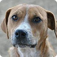 Adopt A Pet :: Daphne - Austin, TX