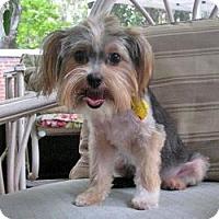 Adopt A Pet :: Chibi - Clearwater, FL