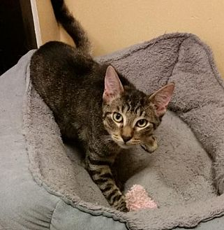 Domestic Shorthair Kitten for adoption in Hallandale, Florida - Tommy