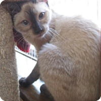 Adopt A Pet :: Mesa (pure-bred Siamese) - Witter, AR