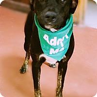 Adopt A Pet :: Greta - Toledo, OH