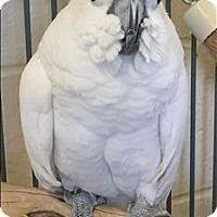 Adopt A Pet :: Scarlett - Monterey, CA