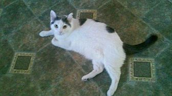 Domestic Shorthair Cat for adoption in Fullerton, California - Thumbelina