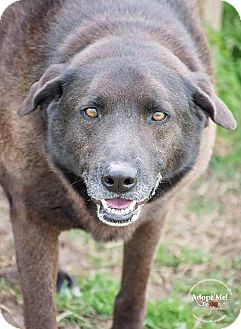 Labrador Retriever/Shepherd (Unknown Type) Mix Dog for adoption in Iola, Texas - Tucker