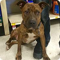 Adopt A Pet :: Suri in CT - Manchester, CT