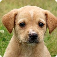 Adopt A Pet :: Nicci - Glastonbury, CT