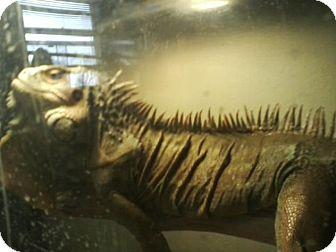 Iguana for adoption in South Bend, Indiana - Ignacius