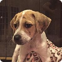 Adopt A Pet :: Chase - Tampa, FL