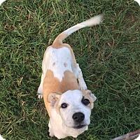 Adopt A Pet :: Amelia - Albemarle, NC