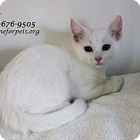 Adopt A Pet :: A Kitten Girl: LILY - Monrovia, CA