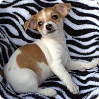 Adopt A Pet :: Cheeto's pup Ruffles - Tucson, AZ