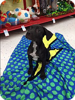 Labrador Retriever/Pit Bull Terrier Mix Puppy for adoption in Saint Augustine, Florida - Ghoo