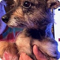 Cairn Terrier Mix Dog for adoption in ST LOUIS, Missouri - Karen