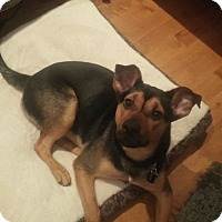 Shepherd (Unknown Type) Mix Dog for adoption in Northumberland, Ontario - Foster