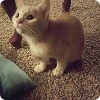 Adopt A Pet :: *Logan - kitten - Rootstown, OH