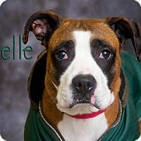 Adopt A Pet :: Belle - Somerset, PA