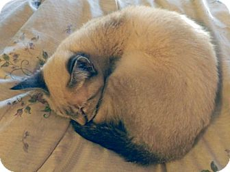Siamese Kitten for adoption in The Colony, Texas - Whoopie Cat