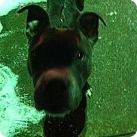 Adopt A Pet :: Denali - McKeesport, PA