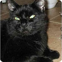 Adopt A Pet :: Midnight - Plainville, MA