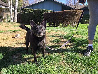Schipperke Mix Dog for adoption in Sacramento, California - Corkey