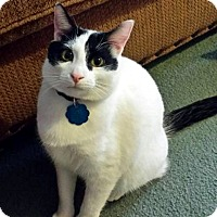 Domestic Shorthair Cat for adoption in Edmond, Oklahoma - Fitzpatrick