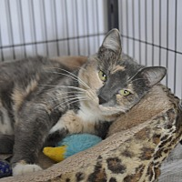 Domestic Shorthair Cat for adoption in Hanna City, Illinois - Meggie